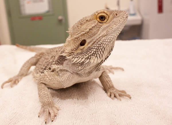 George the Bearded Dragon